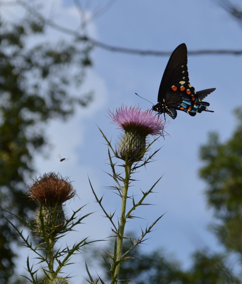 Cottage Pollinators - Woodland Butterflies (10 Photos)