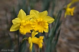 Cottage blooms, spring 2016 (5photos)