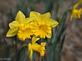 Cottage blooms, spring 2016 (5 photos)