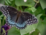 Diana Fritillaries (Speyeria diana) (8 photos)