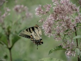 More Swallowtails (6 photos)