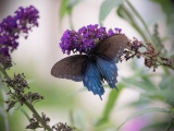 Swallowtails (6 photos)
